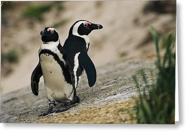 Jackass Greeting Cards - Jackass Penguins Spheniscus Demersus Greeting Card by Kenneth Garrett