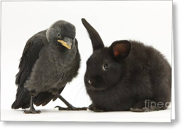 Jackdaws Greeting Cards - Jackdaw And Rabbit Greeting Card by Mark Taylor