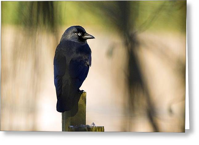 Jackdaws Greeting Cards - Jackdaw On A Fence Post Greeting Card by Duncan Shaw