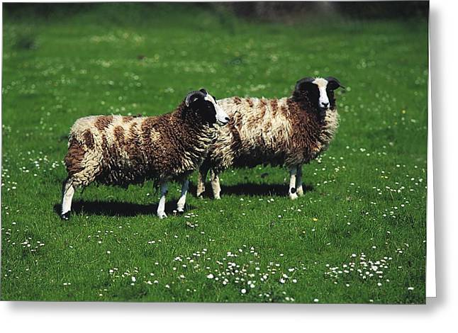 Domesticated Flower Greeting Cards - Jacob Sheep Greeting Card by The Irish Image Collection