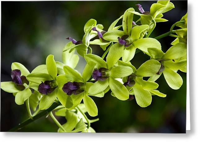 Dendrobium Greeting Cards - Jade Dendrobium Orchids Greeting Card by Karon Melillo DeVega