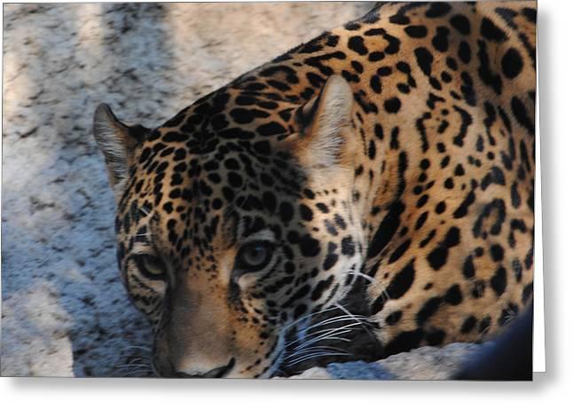 Jaguar In December Greeting Card by DiDi Higginbotham