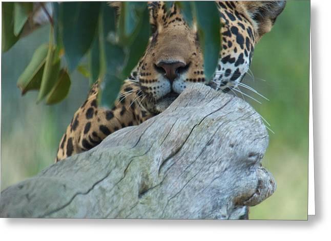 Jaguars Greeting Cards - Jaguar  Greeting Card by Jason Waugh