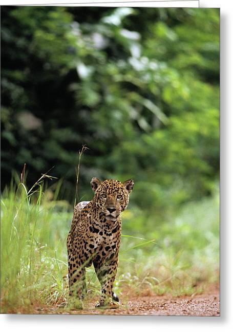 Jaguars Greeting Cards - Jaguar Panthera Onca Looking At Camera Greeting Card by SA Team