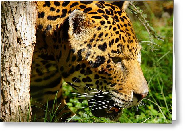 Jaguars Greeting Cards - Jaguar Greeting Card by Robert Frederick