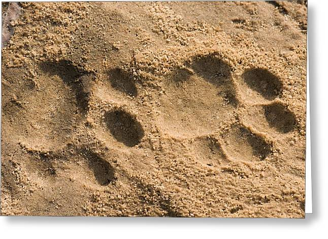 Animal Paw Print Greeting Cards - Jaguar Tracks Greeting Card by Tony Camacho