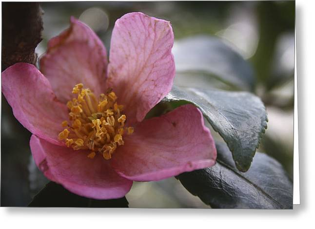 January Camelia 2 Greeting Card by Teresa Mucha