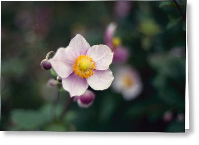 Japanese Anemone  Greeting Card by Marcio Faustino