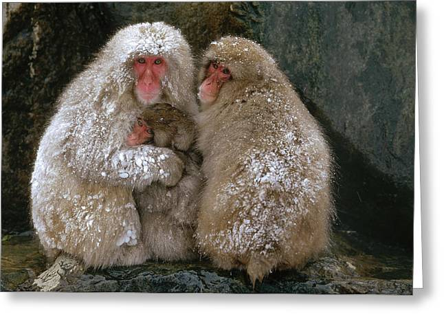 Emoting Greeting Cards - Japanese Macaque Macaca Fuscata Family Greeting Card by Konrad Wothe