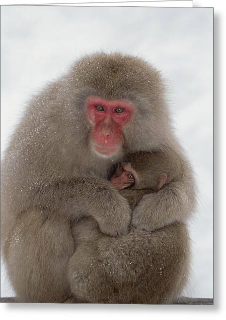 Emoting Greeting Cards - Japanese Macaque Macaca Fuscata Mother Greeting Card by Konrad Wothe