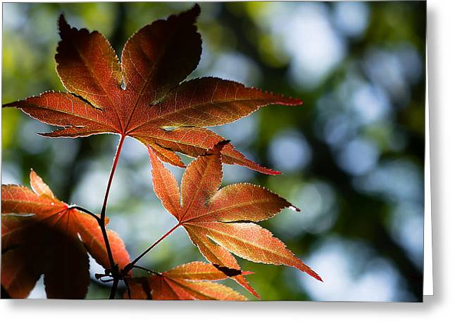 Dappled Light Greeting Cards - Japanese Maple Leaves Greeting Card by Lori Coleman