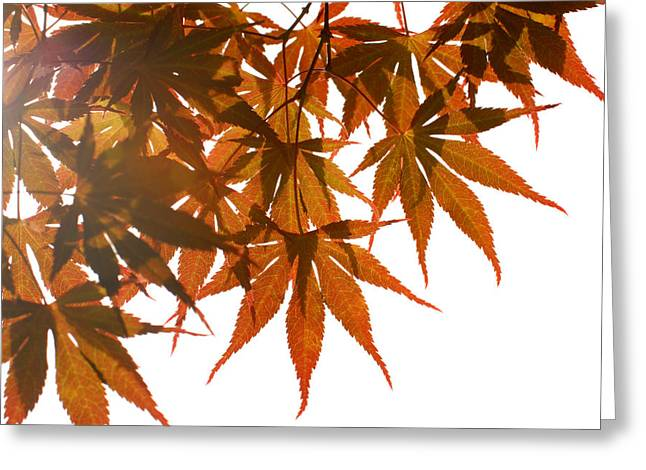 Maple Photographs Greeting Cards - Japanese Maple Greeting Card by Panos Trivoulides