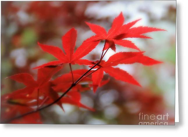 Maple Photographs Greeting Cards - Japanese Maple Greeting Card by Perry Webster