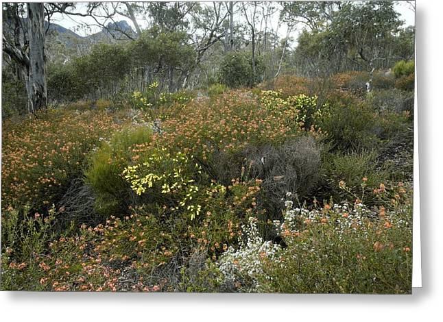 Jarrah (eucalyptus) Forest In Australia Greeting Card by Bob Gibbons