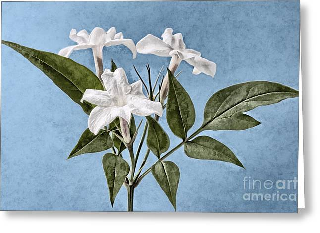 Jessamine Greeting Cards - Jasminum officinale Greeting Card by John Edwards