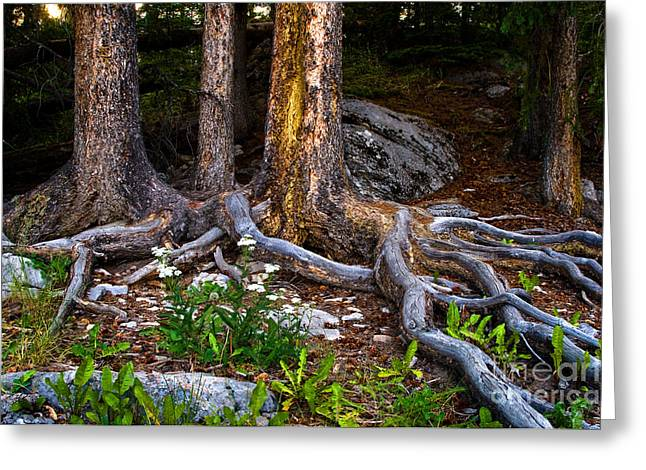 Tree Roots Greeting Cards - Jasper - Root Bound Greeting Card by Terry Elniski
