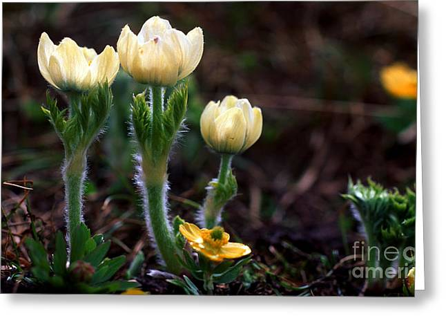 Pasqueflower Greeting Cards - Jasper - White Pasqueflower Greeting Card by Terry Elniski
