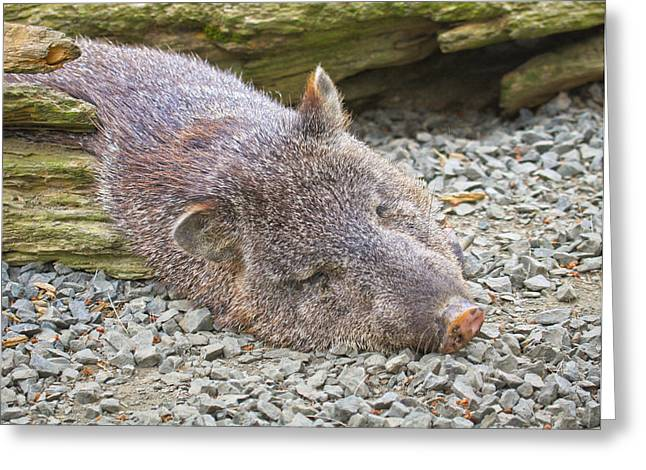 Growling Greeting Cards - Javalina Resting Greeting Card by Steve McKinzie