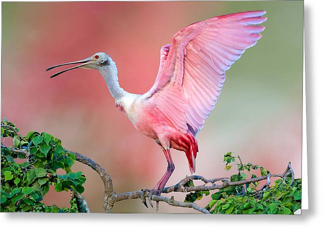 Water Fowl Greeting Cards - Jefferson Island Roseate Spoonbill Greeting Card by Bonnie Barry