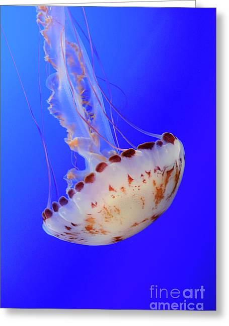 Snorkelling Greeting Cards - Jellyfish 4 Greeting Card by Bob Christopher