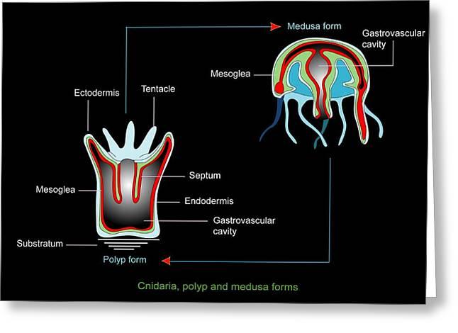 Medusa Greeting Cards - Jellyfish Body Forms, Artwork Greeting Card by Francis Leroy, Biocosmos