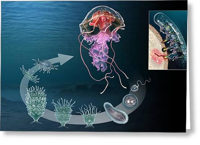 Medusa Greeting Cards - Jellyfish Life Cycle, Artwork Greeting Card by Jose Antonio PeÑas