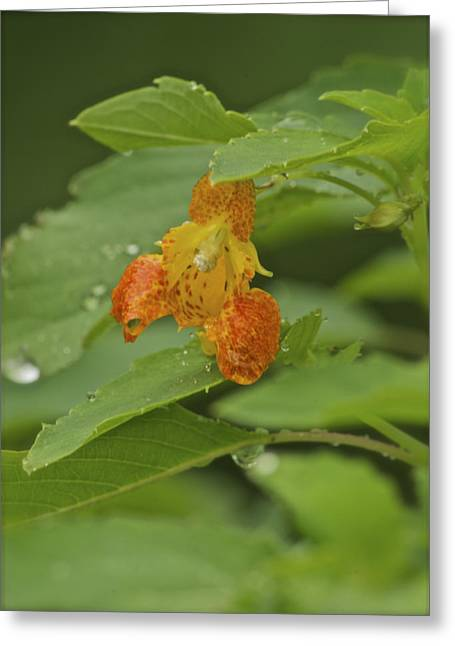 Impatiens Flowers Greeting Cards - Jewelweed_5331 Greeting Card by Michael Peychich