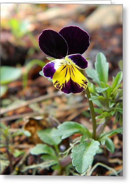 Johnny Jump Up Pansy Greeting Cards - Johnny Jump Up Greeting Card by Judy Arbuckle