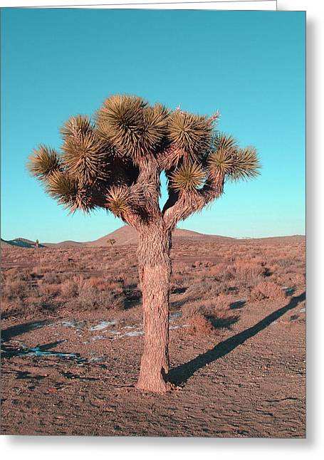 Joshua Tree Greeting Card by Naxart Studio