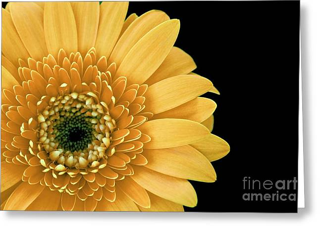 Joyful Delight Gerber Daisy Greeting Card by Inspired Nature Photography Fine Art Photography