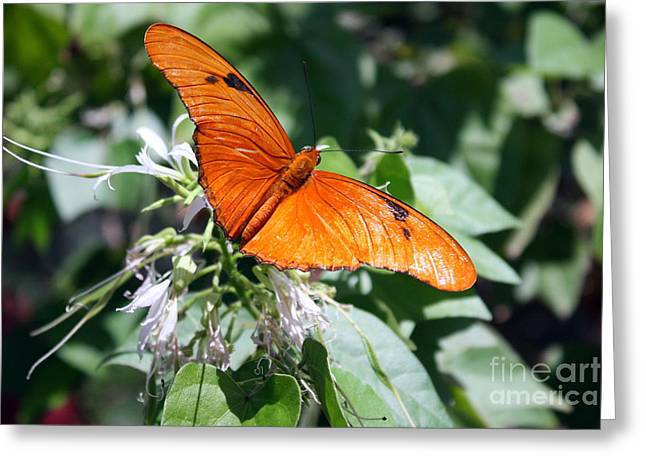Transformation Of Life Greeting Cards - Julia Butterfly Greeting Card by Kelly Holm