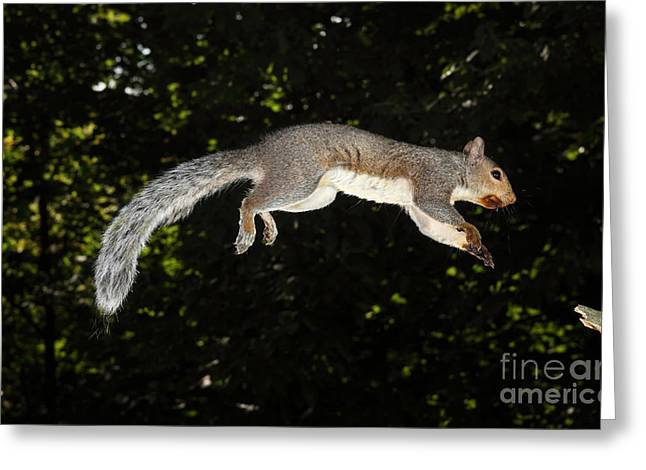 Eastern Gray Squirrels Greeting Cards - Jumping Gray Squirrel Greeting Card by Ted Kinsman