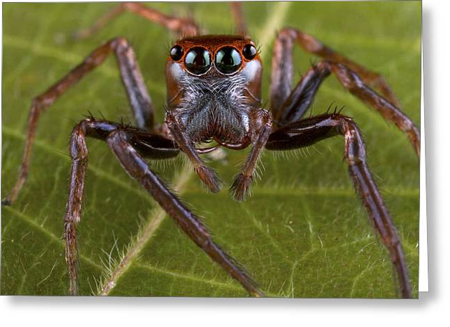 New Britain Greeting Cards - Jumping Spider Papua New Guinea Greeting Card by Piotr Naskrecki