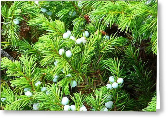 Berries Framed Prints Greeting Cards - Juniper Berries Greeting Card by Debbie Poetsch