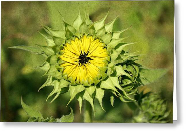 Yellow Sunflower Digital Greeting Cards - Just blooming Greeting Card by Cathie Tyler