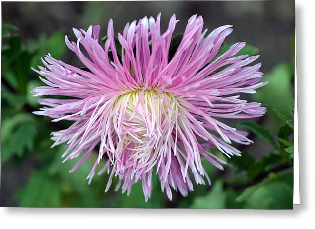 Asters Greeting Cards - Just Like A Bad Hair Day. Greeting Card by Terence Davis