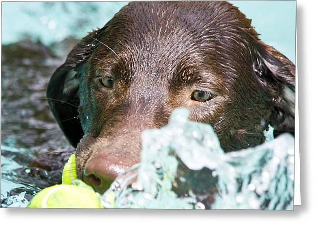 Chocolate Lab Greeting Cards - Just Need One More Greeting Card by Roger Wedegis