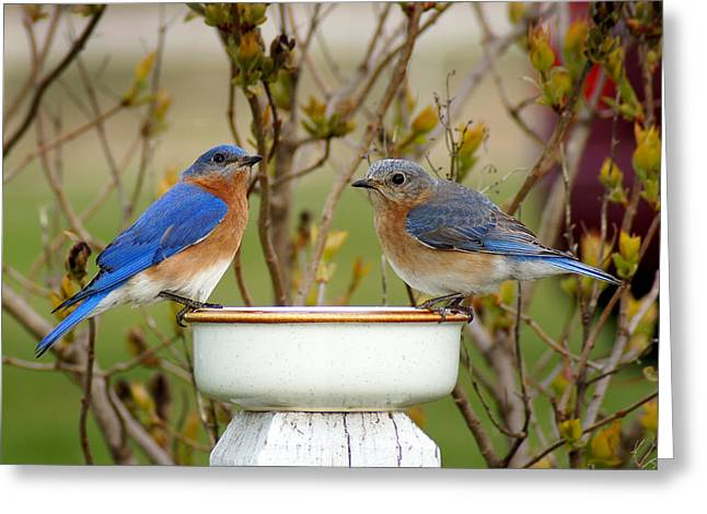 Bluebird Greeting Cards - Just the Two of Us Greeting Card by Bill Pevlor