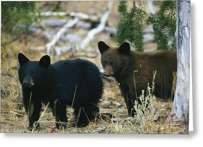 Juvenile Mammals Greeting Cards - Juvenile American Black Bears Greeting Card by Michael S. Quinton