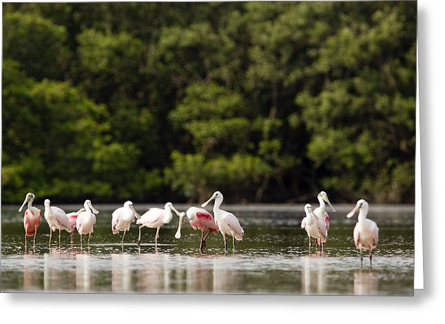 Recently Sold -  - Mangrove Forest Greeting Cards - Juvenile And Adult Roseate Spoonbills Greeting Card by Tim Laman