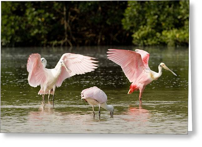 Preening Greeting Cards - Juvenile And Adult Spoonbills Feeding Greeting Card by Tim Laman