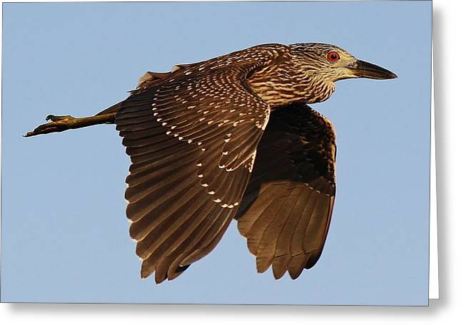Juvenile Black Crowned Night Heron In Flight Greeting Card by Paulette Thomas