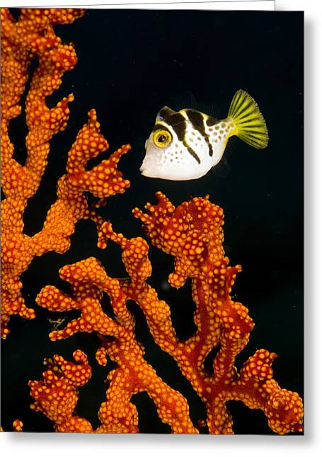 Toby Greeting Cards - Juvenile Blacksaddle Filefish Greeting Card by Matthew Oldfield