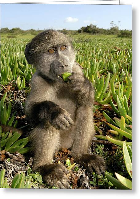 Juvenile Chacma Baboon Greeting Card by Peter Chadwick