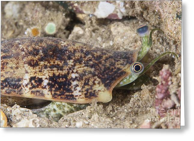 Undersea Photography Greeting Cards - Juvenile Conch Feeding At Night, Papua Greeting Card by Terry Moore