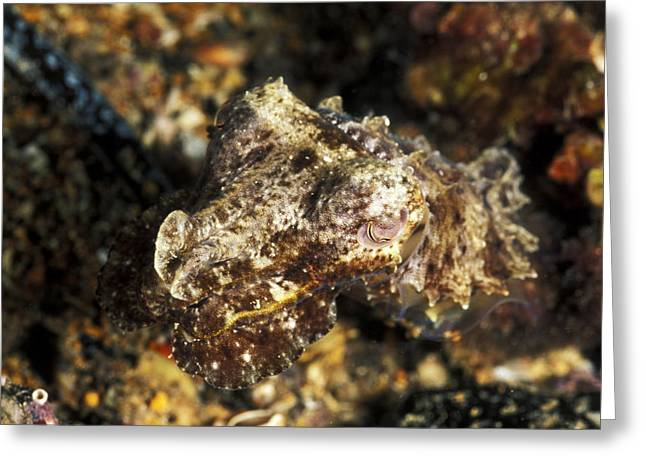Australia Wildlife Greeting Cards - Juvenile Giant Cuttle Fish, Sepia Greeting Card by James Forte
