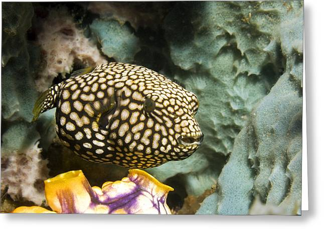 Pufferfish Greeting Cards - Juvenile Map Pufferfish Greeting Card by Georgette Douwma
