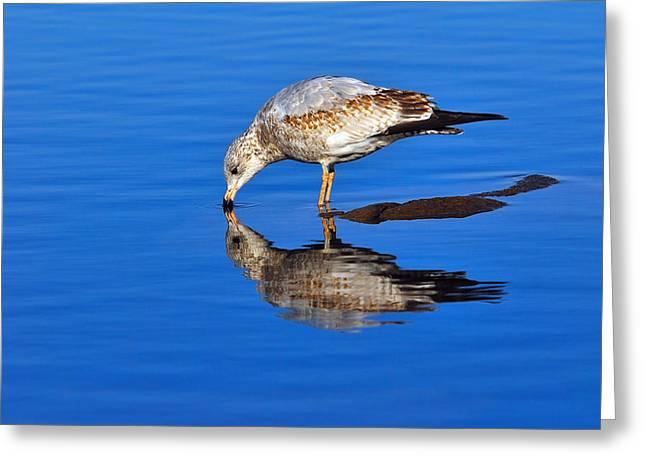 Ring-billed Gull Greeting Cards - Juvenile Ring-billed Gull  Greeting Card by Tony Beck