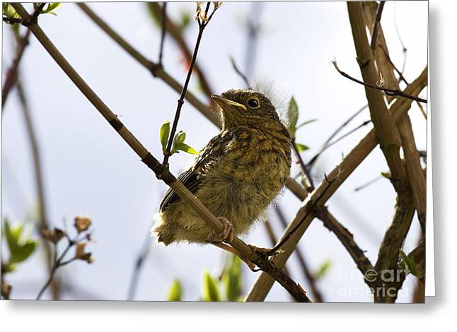 Fledglings Greeting Cards - Juvenile Robin Greeting Card by Jane Rix
