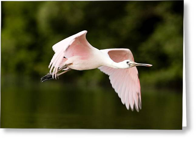 Recently Sold -  - Mangrove Forest Greeting Cards - Juvenile Roseate Spoonbill Ajaia Ajaja Greeting Card by Tim Laman